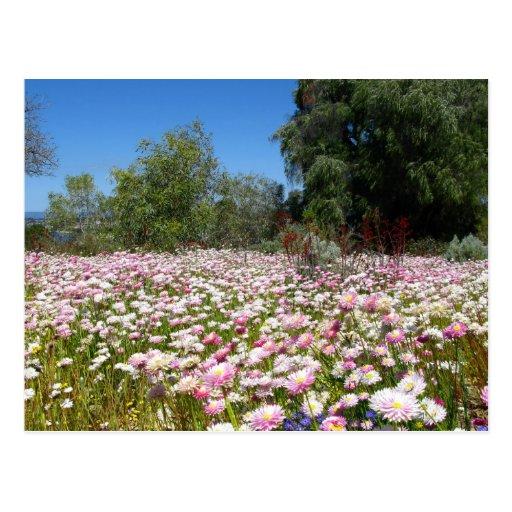 Everlasting Flowers Post Card