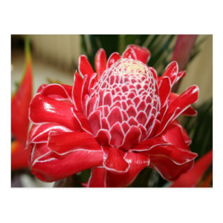 Exotic Red Torch Ginger flower Postcard