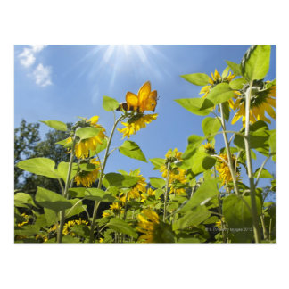 extra large bee on Sunflower Postcard
