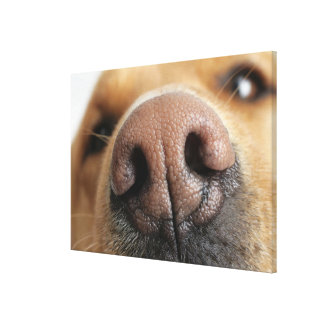 Extreme close-up of a dog nose. canvas print
