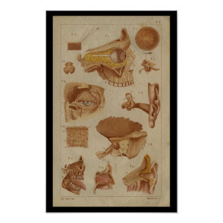 Eye Ear Nerves Vintage Anatomy Print