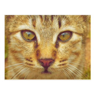 Eye of a Cat Tiger Postcard
