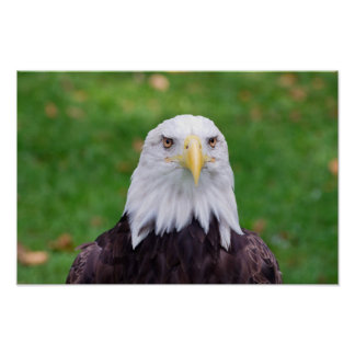 Eyes of a Bald Eagle Poster