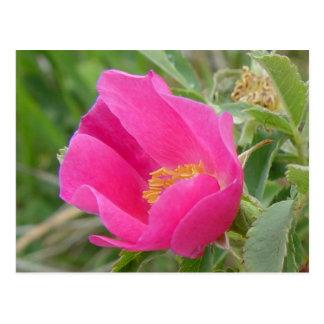 F0007 Alberta Wild Rose Postcard