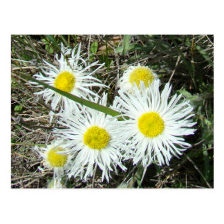 F0010 White Wildflowers Postcard