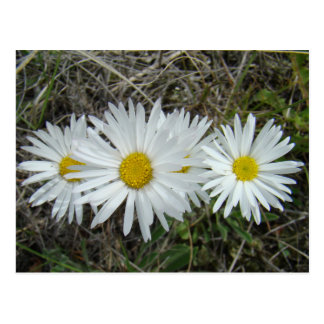 F0042 White Wildflowers Smooth Aster Postcard