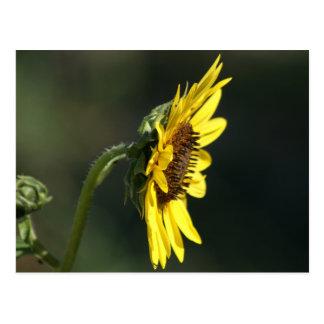 F0043 Yellow Wildflower Black-eyed Susan Postcard