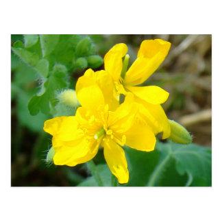 F0044 Yellow Wildflowers Wild Mustard Postcard