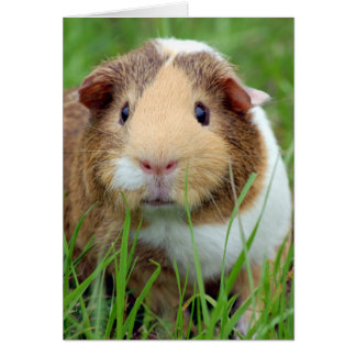 Face of a Guinea Pig Photo Card