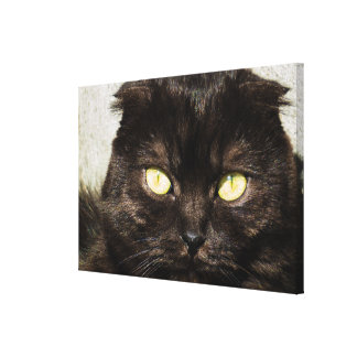 Face Of A Young Munchkin Kitten Canvas Print