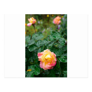 Fades wet autumn rose with blur postcard