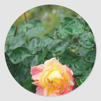 Fades wet autumn rose with blur round sticker