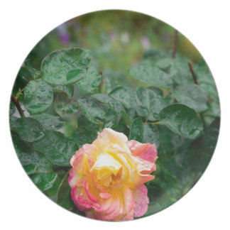 Fades wet rose with drops of  rain plate