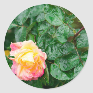 Fading autumn rose with droplets round sticker