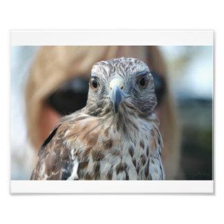 Falcon Photo Print