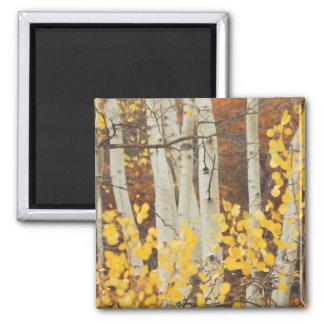 Fall Aspens Square Magnet