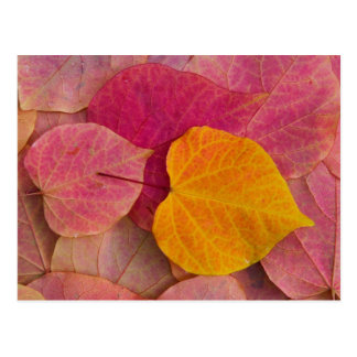 Fall color on Forest Pansy Redbud fallen Postcard