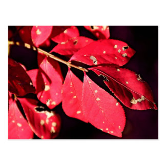 Fall Colors- Red Leaf Postcard