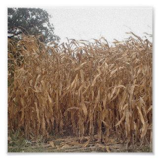 Fall Corn Canvas Poster