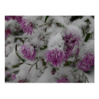 fall flowers - new england asters in snow postcard