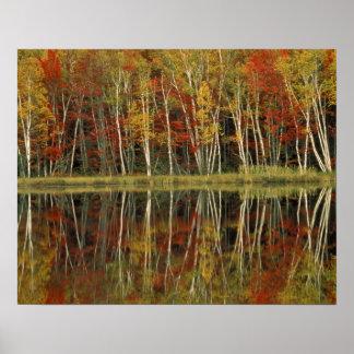 Fall Foliage and Birch Reflections; Hiawatha Poster