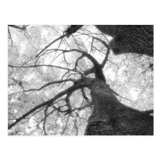 Fall Tree in Black and White Postcard