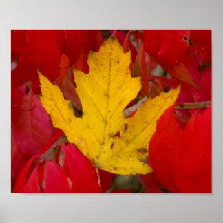 Fallen Autumn Leaf Amongst a Burning Bush Poster