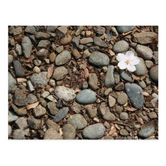 Fallen cherry blossom postcard