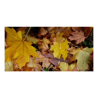 Fallen Maple Leaves Yellow Autumn Nature Poster