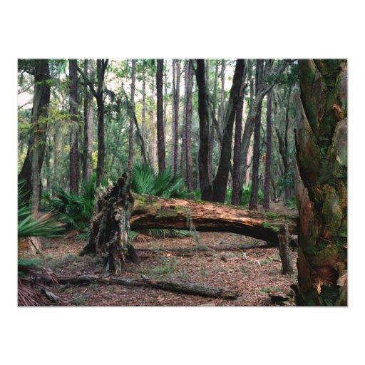 Fallen Oak. Split Oak, Orange County, Fl. Photo Print