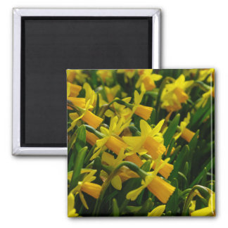 Family Of Daffodils Square Magnet