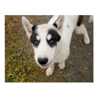 Famous Greenlandic sled dog, black and white puppy Postcard