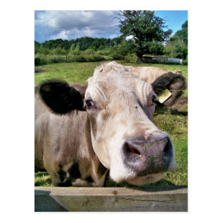 FARM ANIMALS, CUTE COW POSTCARD