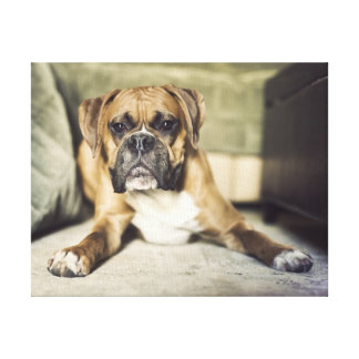 Fawn boxer pup laying down gallery wrapped canvas