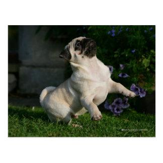Fawn Pug Puppy Postcard