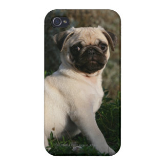 Fawn Pug Puppy Sitting iPhone 4/4S Cover