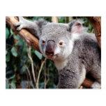 Featherdale Wildlife Park, Koala Bears Postcard