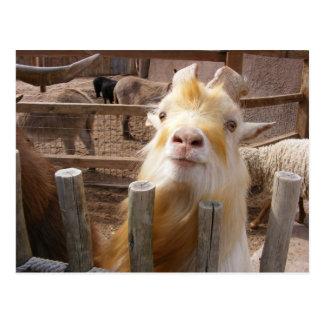 Feed Me! Goats Postcard