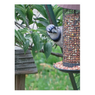 Feeding Blue Jay Postcard