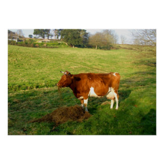 Feeding time for Guernsey cow Poster