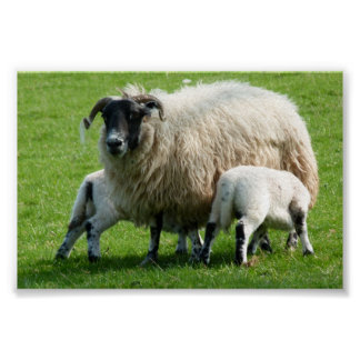 Feeding time for this sheep's lambs poster
