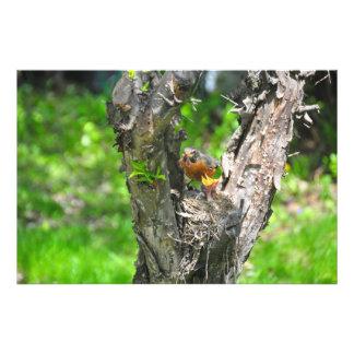 Feeding time in robin nest photo