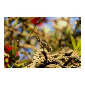 Female Anna's Hummingbird, California, 36x24 Photo Poster