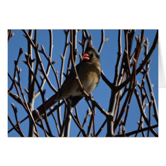 Female Cardinal & Blue Sky Card