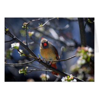 Female Cardinal in Flowering Pear Tree Card