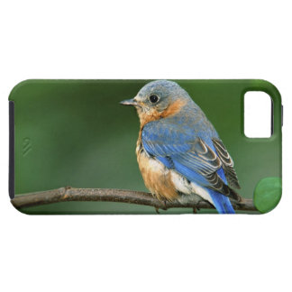 Female Eastern Bluebird, Sialia sialis iPhone 5 Cover
