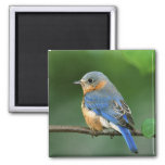 Female Eastern Bluebird, Sialia sialis Refrigerator Magnets
