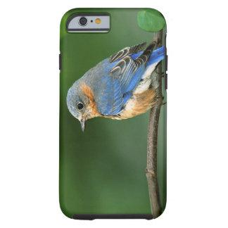 Female Eastern Bluebird, Sialia sialis Tough iPhone 6 Case