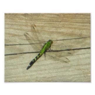 Female Eastern Pondhawk Dragonfly Kodak Photo