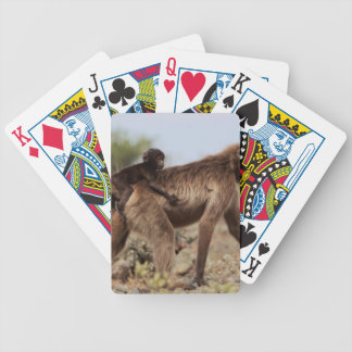 Female gelada baboon with a baby bicycle playing cards